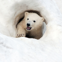 Protect Polar Bear Cubs in the Arctic from Oil and Gas Drilling