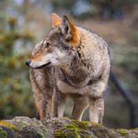 Conservation Groups Sue USFWS to Save Wild Red Wolves