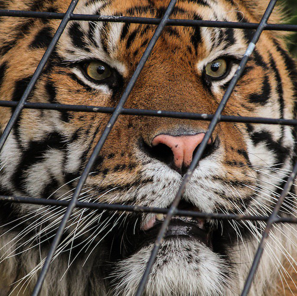 Urge Your Lawmakers to Support Bill to Protect Big Cats