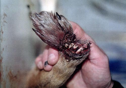 The nearly severed paw of a coyote who suffered in a Wildlife Services trap for days before he was discovered.