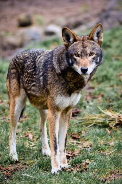 Gunshot deaths are a significant threat to red wolf (Canis rufus) recovery - Photo by William Doran