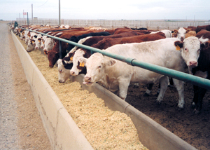 Feedlot cows line up to eat. Feathers added to their food may breed antibiotic-resistant bacteria and reduce the drugs' effectiveness in treating humans - Photo by NDSU Ag Comm