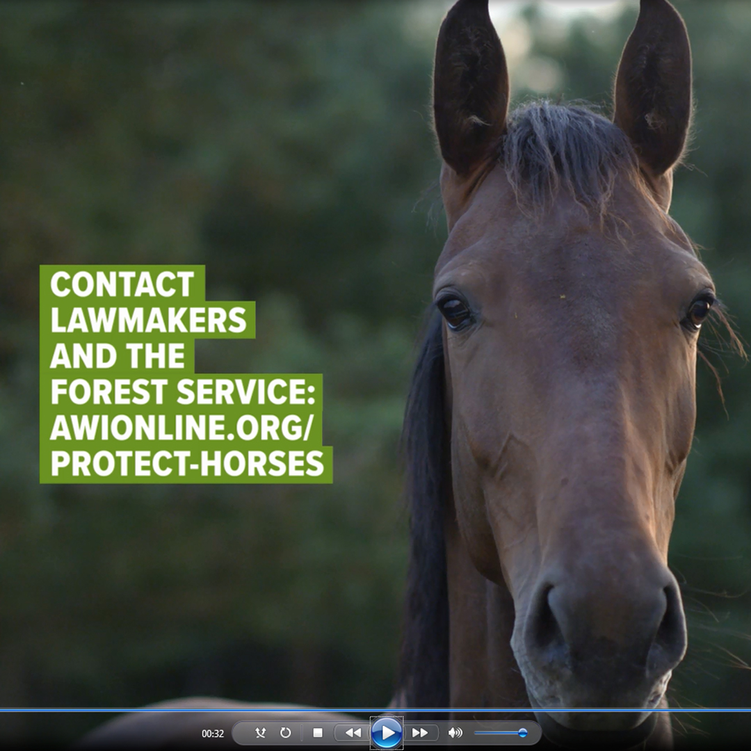 Save Wild Horses from Slaughter!