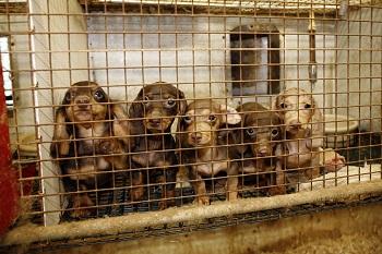 puppy mills animal welfare institute