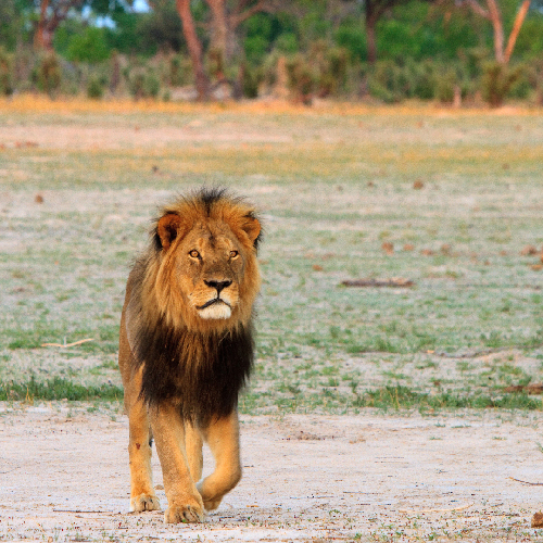 AWI Endorses CECIL Act to Restrict Imports of Protected Species Killed for Sport