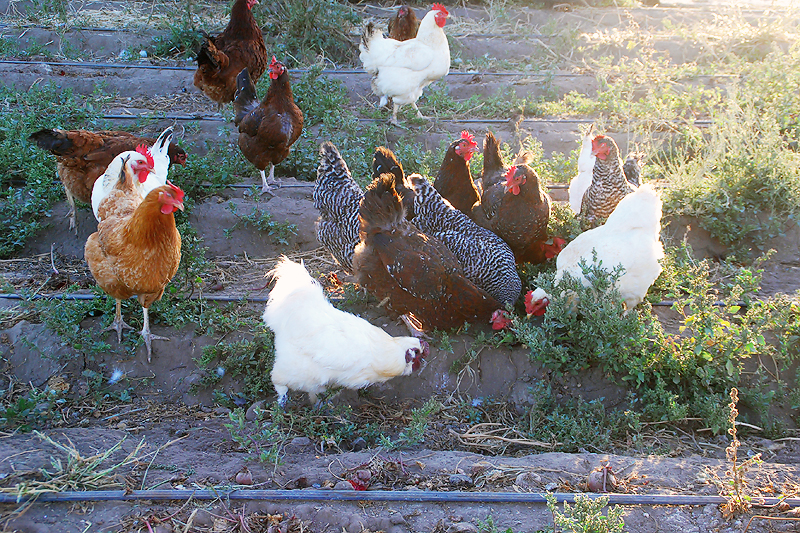 AWI Applauds USDA for Improving Welfare of Animals under Certified Organic Label - Photo from Flickr, Suzie's Farm