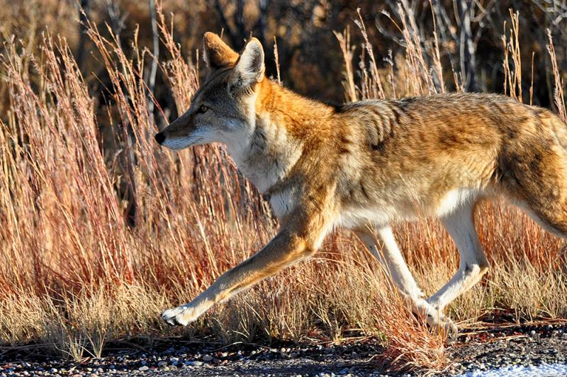 Ask Your Representative to Reform USDA's 'Killing Program' and Ban Cruel Traps on Public Lands - Photo by Larry Lamsa