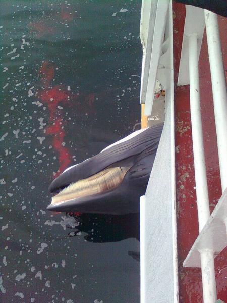 Dead Minke Whale - Photo by Michael Tenten/IMMCS