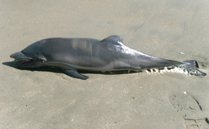 Unusual Mass Dolphin Stranding in Peru - Photo by BlueVoice.org