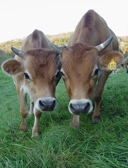 Dairy cows used for milk production