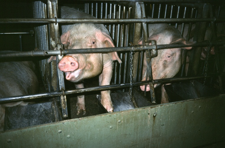 Inhumane practices on factory farms