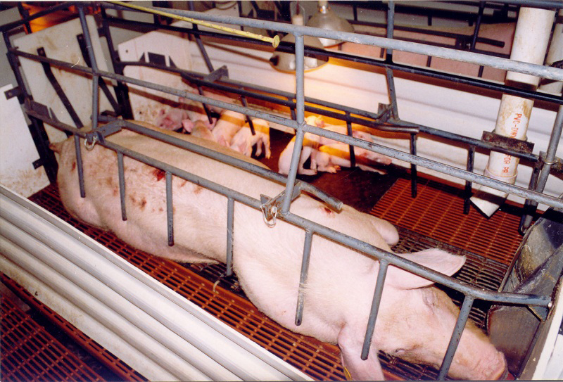 Human Health Impacts of Factory Farming