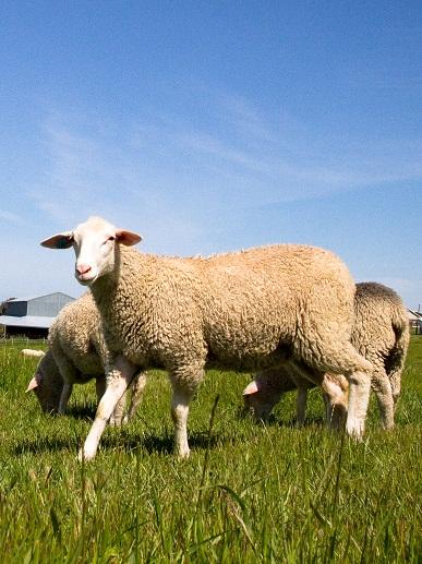 the vast majority of sheep