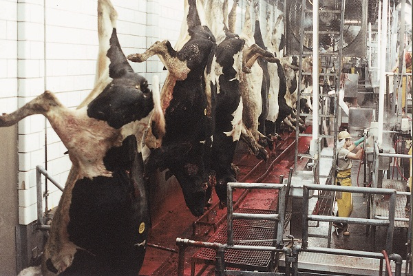 Farm animals slaughtered for human consumption