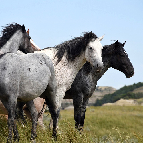 BLM Bucks Controversial Policy for Wild Horse Sale
