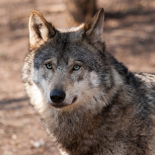 AWI Condemns Gray Wolf Delisting