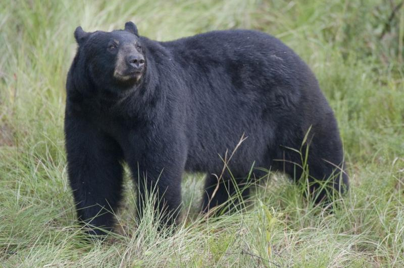 Florida Black Bear, Photo by Forest Service, Southern Region