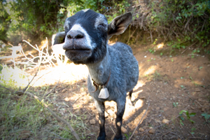 Though tight-lipped for now, this goat on Animal Welfare Approved Chaffin Family Orchards in Oroville, CA, may share a unique accent with others in the herd. - Photo by Mike Suarez