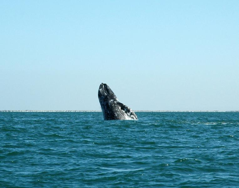 Urge NMFS to Deny Makah Permission to Hunt Gray Whales - Photo from Flickr by WhaleRiot
