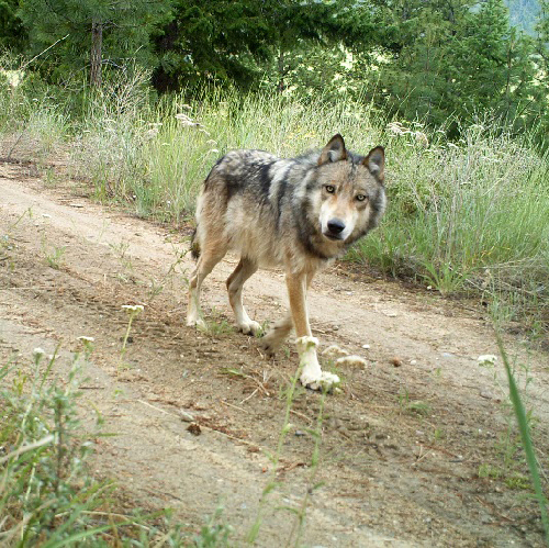 Please Help Protect Gray Wolves Now