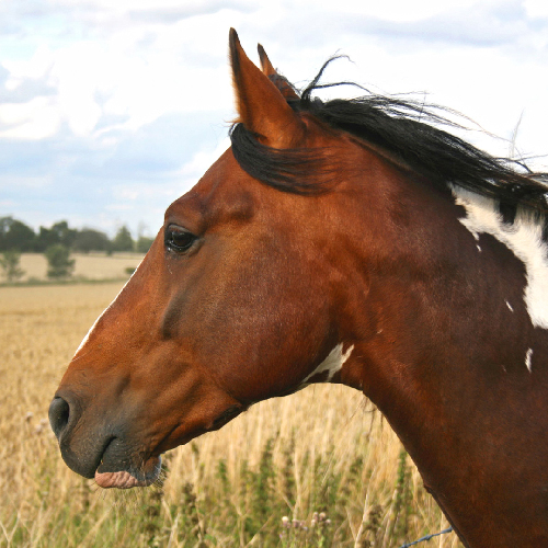 Tell Your Legislators to End the Slaughter of American Horses