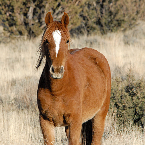 New Poll: Americans Overwhelmingly Oppose Risky Sterilization Experiments on Wild Horses