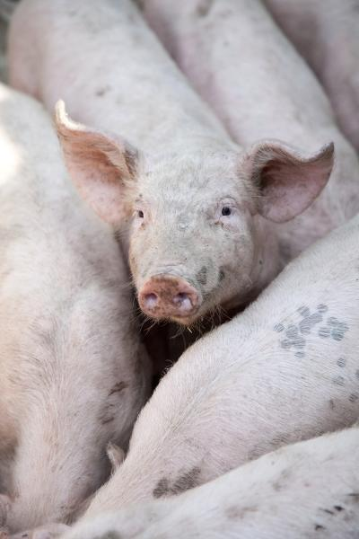 New Report Examines Humane Slaughter Enforcement at Federal, State Level