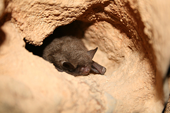 Tell USFWS Not to Delay Endangered Species Listing for Northern Long-Eared Bats - Photo by USFWS Ann Froschauer