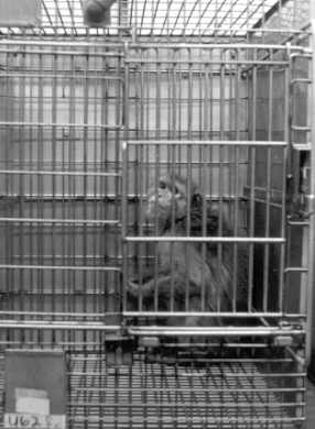 Single-caging of macaques
