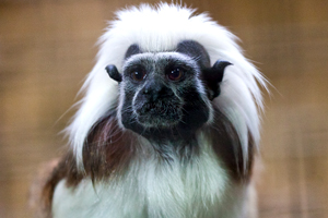 In February, a cotton-top tamarin at the New England Primate Research Center died due to dehydration— the fifth primate to die at the Center in the past 19 months - Photo by Willem van de Kerkhof