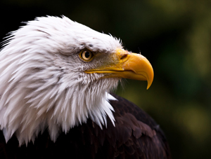 Bald eagles and other birds who scavenge the remains of animals left by hunters may be poisoned by lead ammo - Photo by Robert Bunday