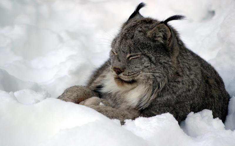Lawsuit Filed to Protect Canada Lynx from Trapping Deaths, Injuries in Maine . Photo by Carl Robidoux.