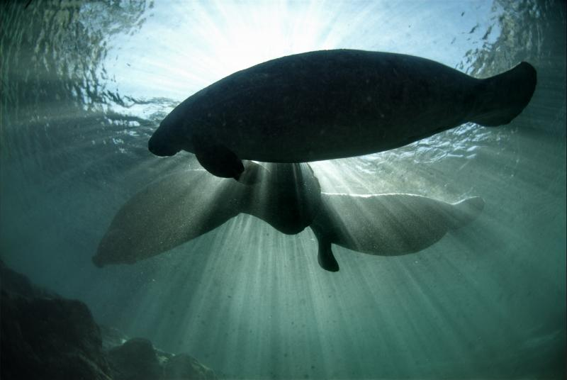 Please Tell the USFWS Not to Weaken Manatee Protections - Photo from flickr David Hinkel