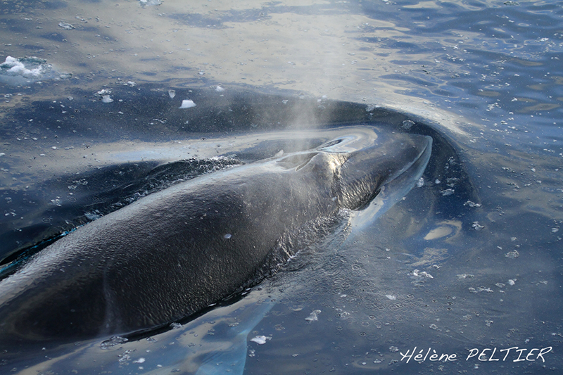 Urge President Obama to Take Action Against Japanese Whaling - photo by Helene Peltier