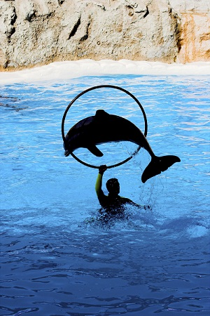 Dolphin in a captive display show