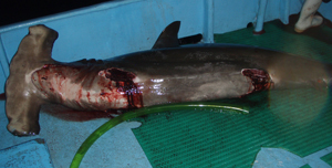 Shark Finning - International Campaigns