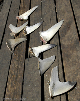 AWI is leading an effort to compel restaurants in the U.S. that currently serve shark fin soup to cease doing so because of the cruelty of shark finning and the fragility of shark populations.