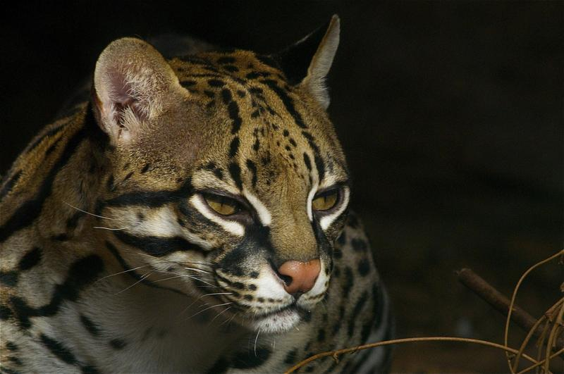 Photo of an Ocelot - from flickr by Valerie Ucumari