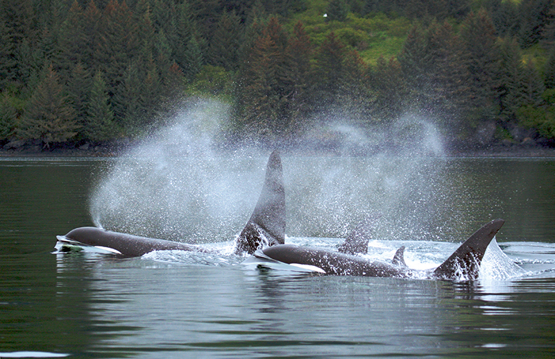 Wild Orcas - Photo from Flickr user Patrick Moody