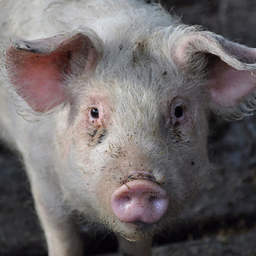 Tell the USDA: Speeding Up Pig Slaughter Jeopardizes Animal Welfare