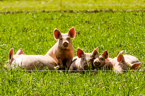 Animal Welfare in Agricultural Research Endeavors (AWARE) Act - Photo from Flickr Nicholas Erwin