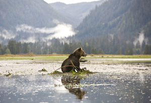 A grizzly bear takes a seat in the shallows as wisps of fog drift through the evergreens. Like many Great Bear Rainforest denizens, bears find sustenance along the shoreline - Photo by Eric Sambol