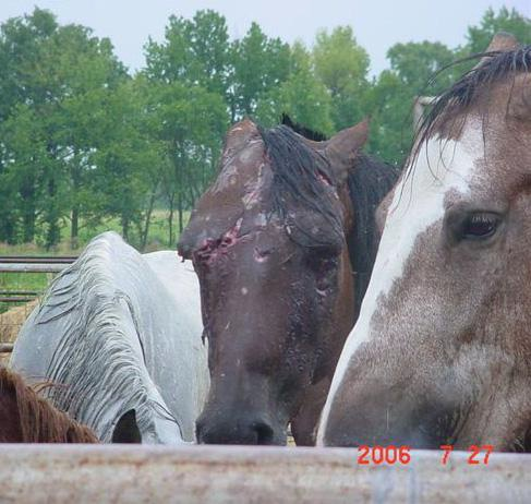 Animal Abuse Horses And Abuse of Horses