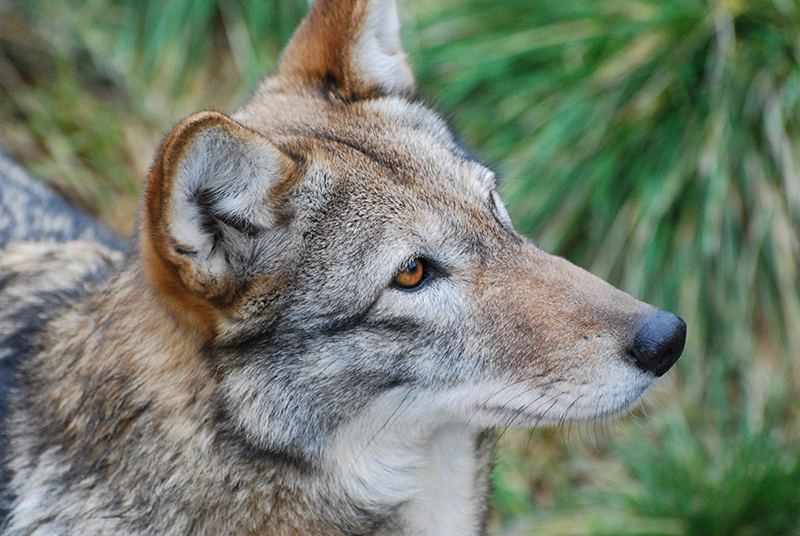 USFWS Suspends Red Wolf Reintroductions in North Carolina - Photo from Flickr Once and Future Laura