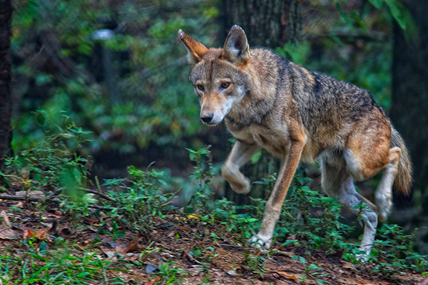 Settlement Reached to Promote Red Wolf Conservation - Photo by Jim Liestman
