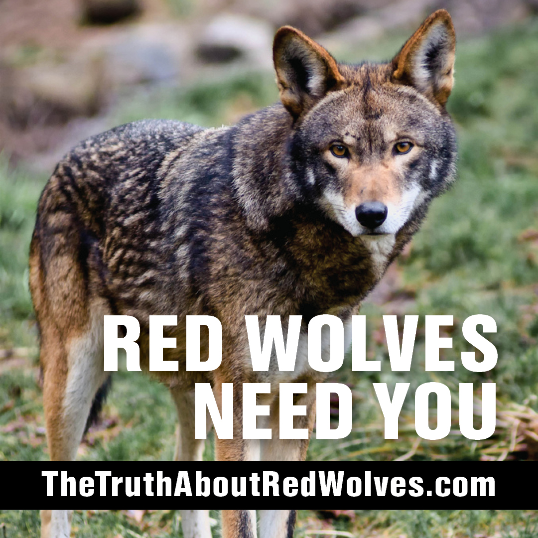 The Truth About Red Wolves