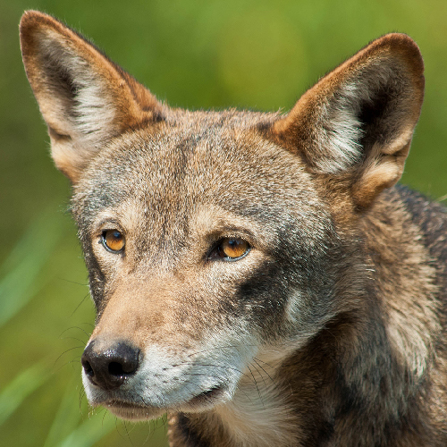 Red Wolf Among 10 Species Imperiled by the Trump Administration, According to New Report