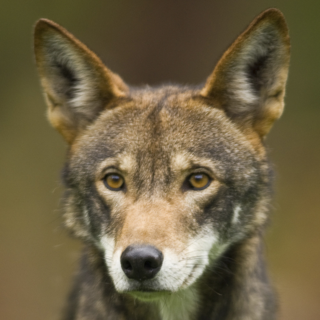 Scientists Declare Red Wolf to be Valid Species