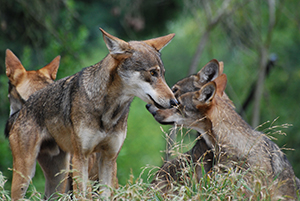 Red Wolves - Photo from Flickr Once and Future Laura