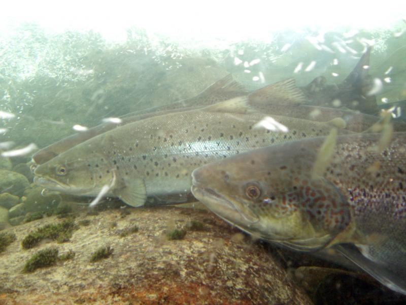 Stop FDA from Approving Genetically Engineered Salmon - Photo by Jørgen Schyberg